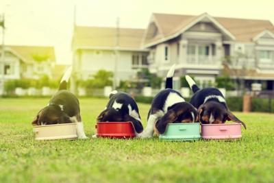 並んで一緒に食事をする子犬たち