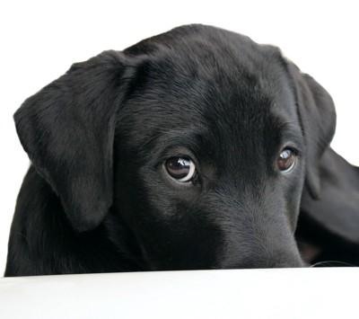じっと見つめる黒い犬