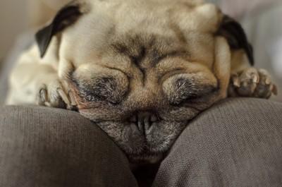 膝の上で眠るパグ
