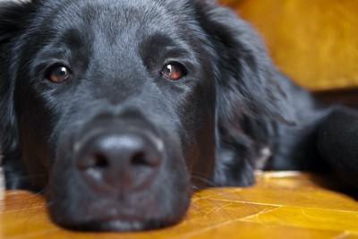 退屈そうに伏せている犬