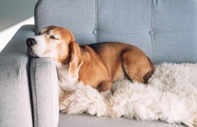 ソファの上で眠るビーグル