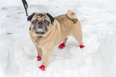 赤い靴を履く雪の上のパグ