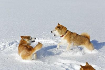 雪の上でじゃれ合う二匹の柴犬