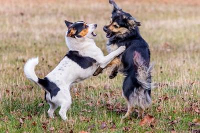遊ぶ2匹の小型犬