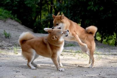 相手の犬に飛びつく柴犬