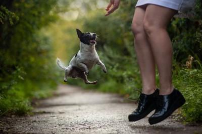 ジャンプする女性とチワワ