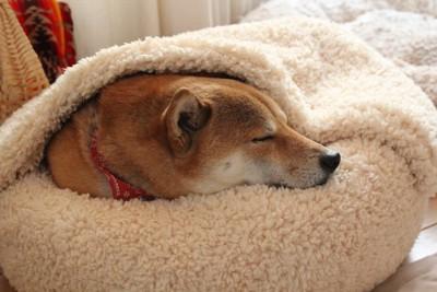 気持ちよさそうに犬用ベッドで寝る犬