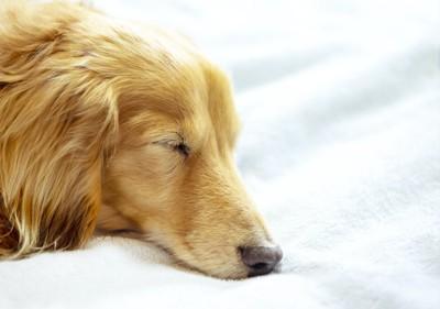 眠っているダックスフンドの顔アップ