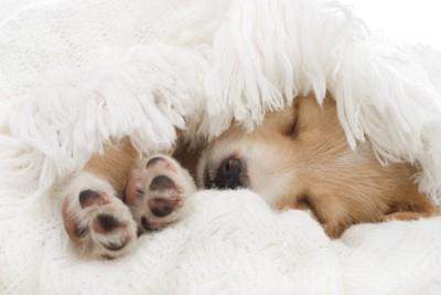 毛布に包まる子犬