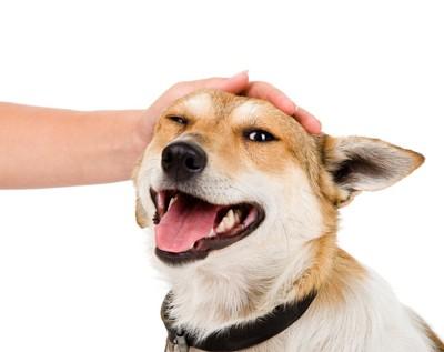 頭を撫でる人間の手とコーギー