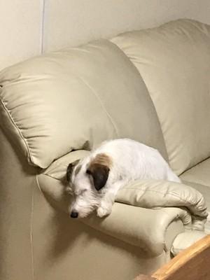 ソファから身を乗り出して熟睡している犬