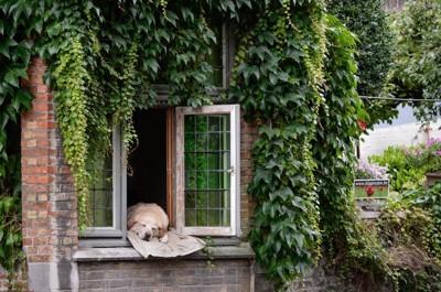 窓から顔を出して眠る犬