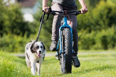 自転車で散歩するボーダー・コリー