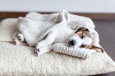 クッションの上で横向きに寝ている子犬