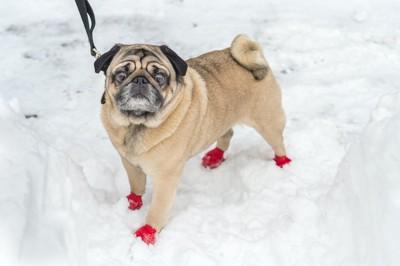 雪の上に立つ赤い靴を履いたパグ