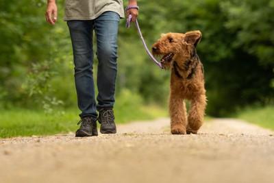 飼い主と歩幅を合わせて歩くエアデール
