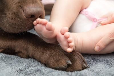 チョコラブの鼻と赤ちゃんの足