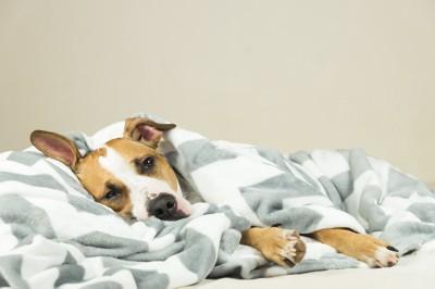 ブランケットに包まれて寝ている犬