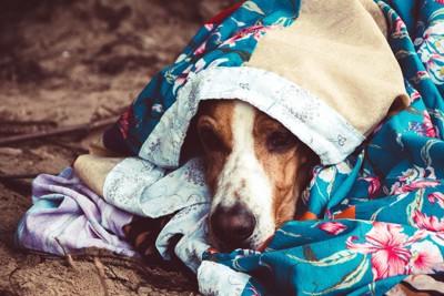 ブランケットの包まれる犬