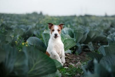 キャベツ畑の犬