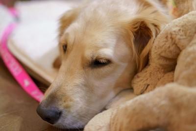 眠っているゴールデンレトリバー