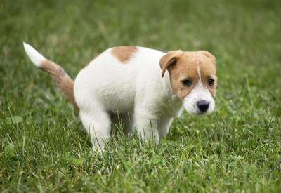 芝生の上でうんちをする犬