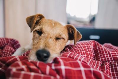 赤い布団の上で寝る犬