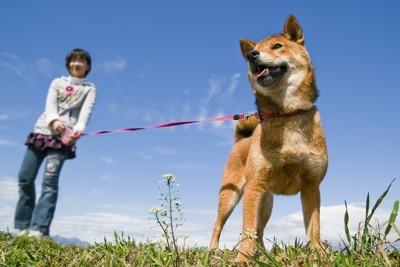伸縮性のリードを付けた柴犬