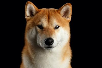 真剣な眼差しの柴犬の顔アップ