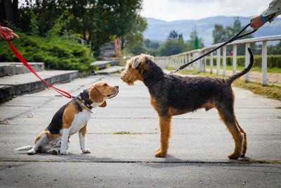 散歩中に挨拶をするビーグルとエアデール