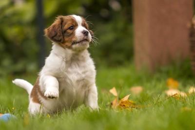 コーイケルホンディエ子犬