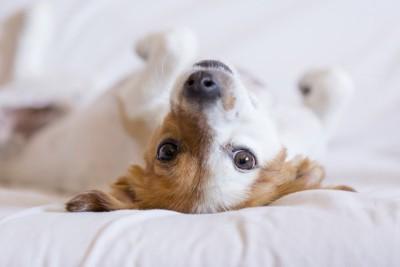 仰向けになってこちらを見る犬