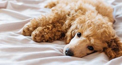 ベッドに寝そべるトイプードル