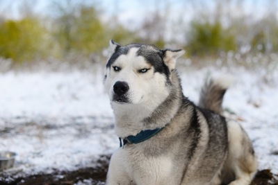 こちらを睨むハスキー犬