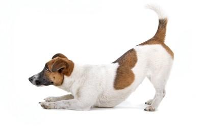 伏せのポーズで遊びに誘っている犬