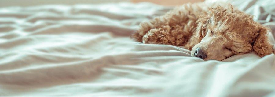 ベッドの上で眠るトイプードル