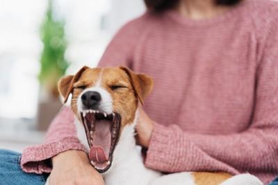 飼い主の膝であくびする犬