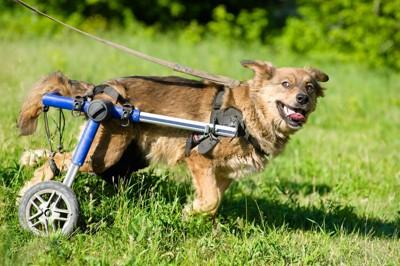 犬の歩行器で歩く犬