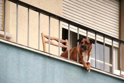 ベランダから身を乗り出す犬