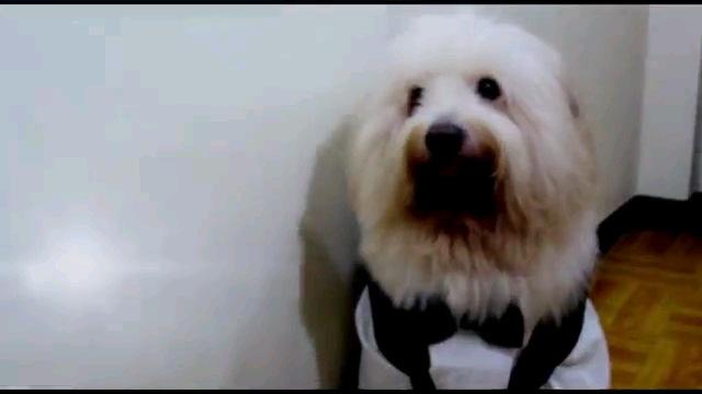 タキシード着る犬