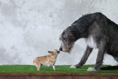 顔を近付け合うチワワとアイリッシュウルフハウンド