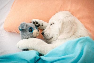 ぬいぐるみを抱いてベッドで寝る犬