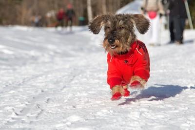 靴を履いて雪遊びする犬