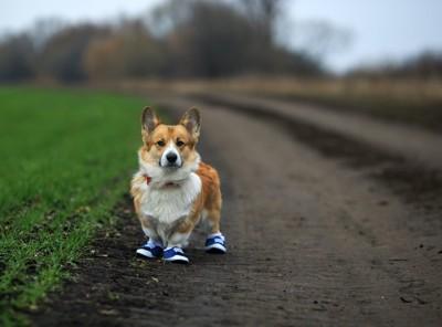 靴を履いて道に立つコーギー
