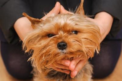 飼い主の両手で顔を包み込まれて無表情になっている犬