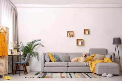 広いリビングに置かれたグレーのソファーにいる犬