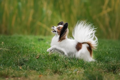 芝生を走る華麗なパピヨン