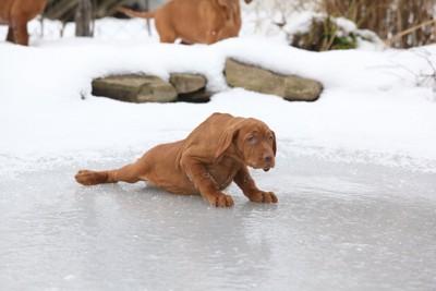 氷の上で転んだ茶色い犬
