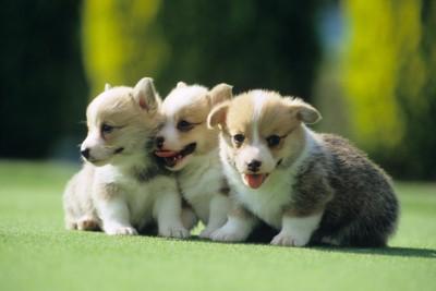 芝生で座っている3匹の子犬
