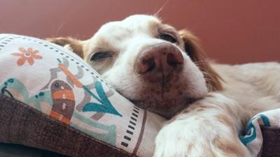 ベッドで眠っている犬の顔アップ